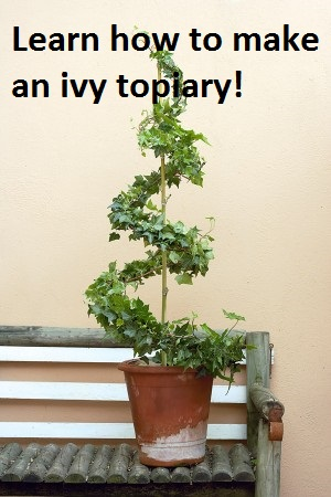 Home garden Ivy topiary